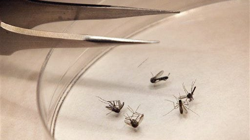 In this file photo, mosquitoes are sorted at a mosquito lab.
