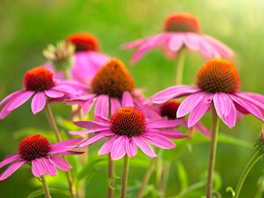 Echinacea isn't a big germ killer but boosts white