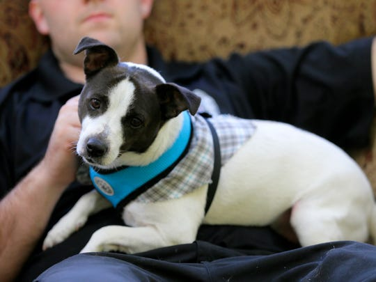 Rambo, a 4-year-old Jack Russell Terrier plays with Josh Griffin, animal control officer, during the Asbury Park Press' visit to the Associated Humane Societies during National Puppy Day in Tinton Falls, NJ Thursday March 23, 2017.  #puppylove