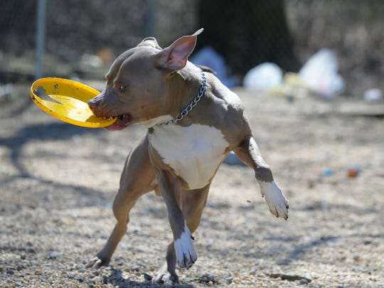 Bernard, a 2-year-old American Bulldog up for adoption, plays outside during the Asbury Park Press' visit to the Associated Humane Societies during National Puppy Day in Tinton Falls, NJ Thursday March 23, 2017. #puppylove
