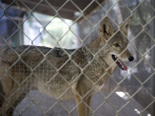 Sandy, a coyote, on Aug. 28, 2017, at the Southwest Wildlife Conservation Center near Scottsdale.