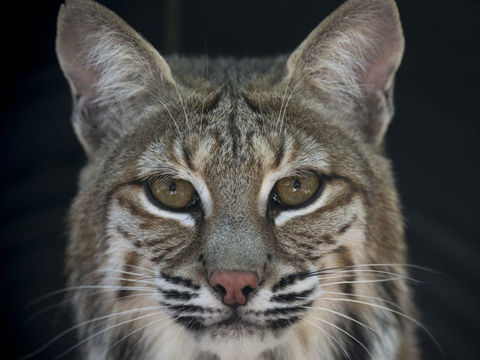 Yemaya, a bobcat, on Aug. 28, 2017, at the Southwest