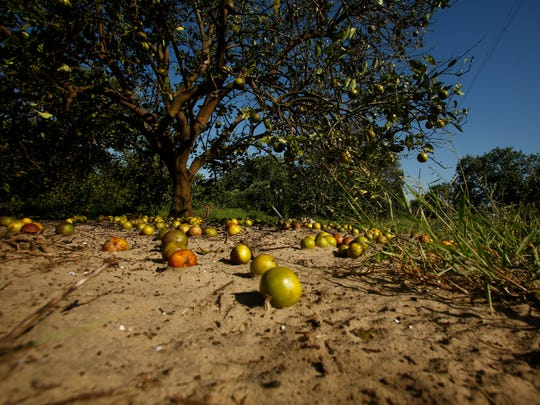 LAKE WALES, FL - SEPTEMBER 13:  Large numbers of oranges sit on the ground at the Story Grove orange grove in the wake of Hurricane Irma on September 13, 2017 in Lake Wales, Florida