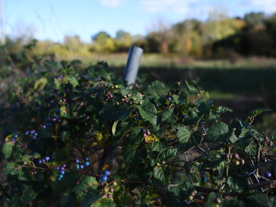 A vine with fruit grows across a fence separating the Karen Cragnolin River Park from the sidewalk along Amboy Road on Wednesday, Oct. 25, 2017.