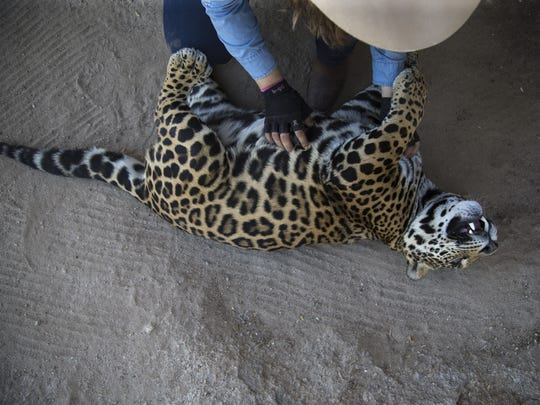 Shandira Astrid scratches Baawe, a 1-year-old male jaguar, in an exhibit at the Centro Ecologico de Sonora, in Hermosillo, Mexico, in March 2017.