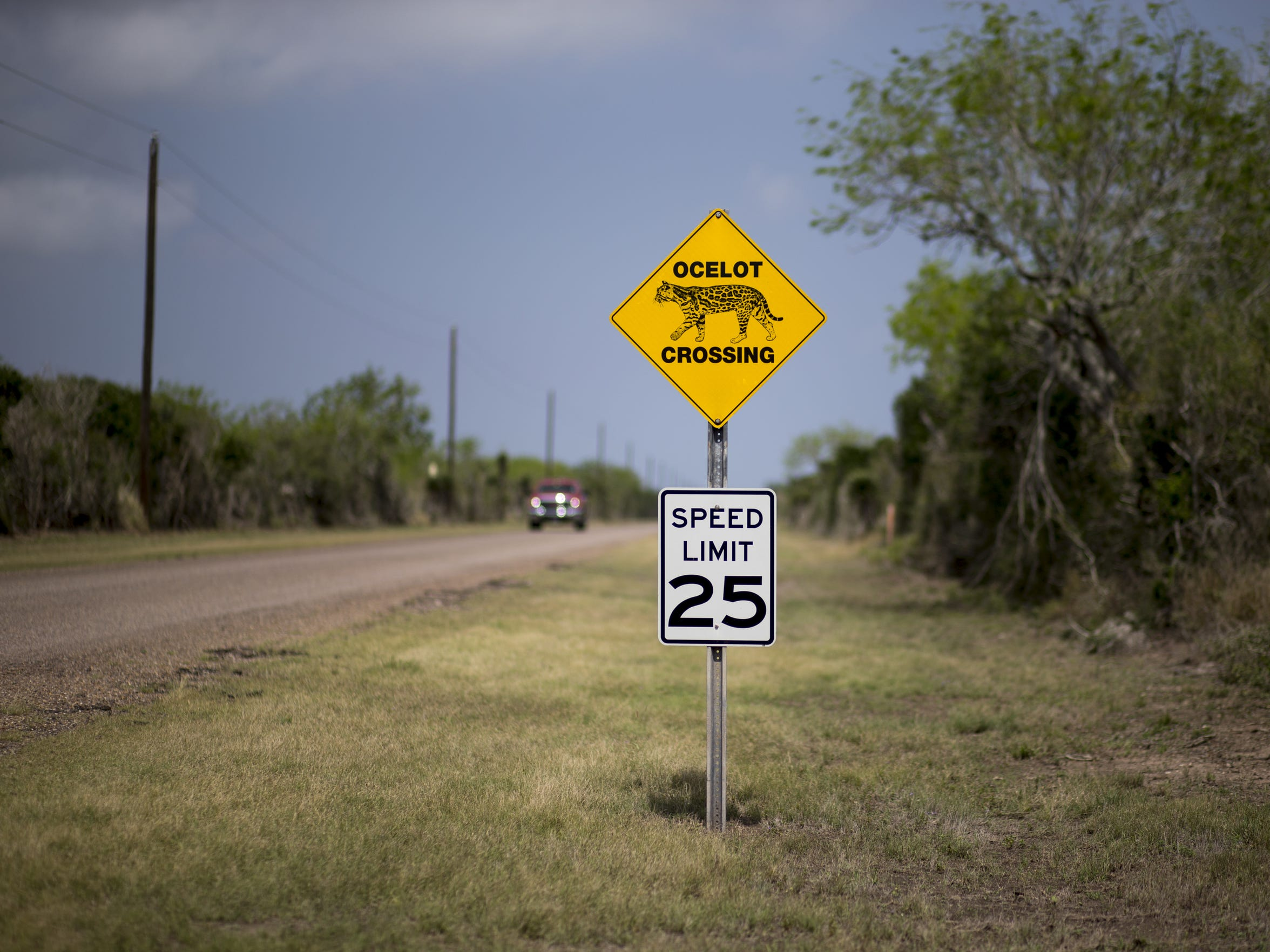 An ocelot crossing at the Laguna Atascosa National Wildlife Refuge in Texas.