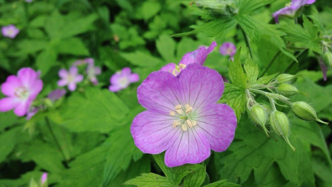 Wild geraniums are often found along the edge of woods. They're now blooming in Lake Maria State Park.