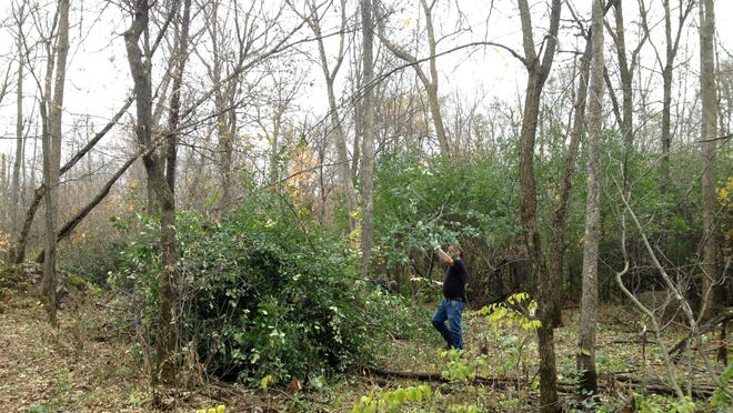 Volunteers helped cut buckthorn, treat the stumps and stack the invasive shrub in piles last October in Rockville County Park & Nature Preserve.