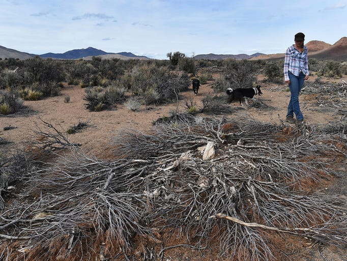 bird on brink nevada ranchers wait for sage grouse decision