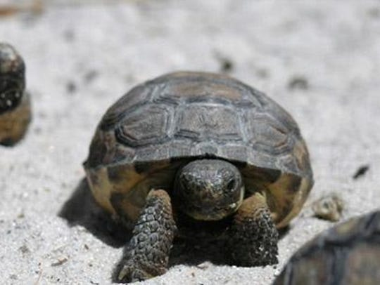 Gopher tortoises, another popular local species, have