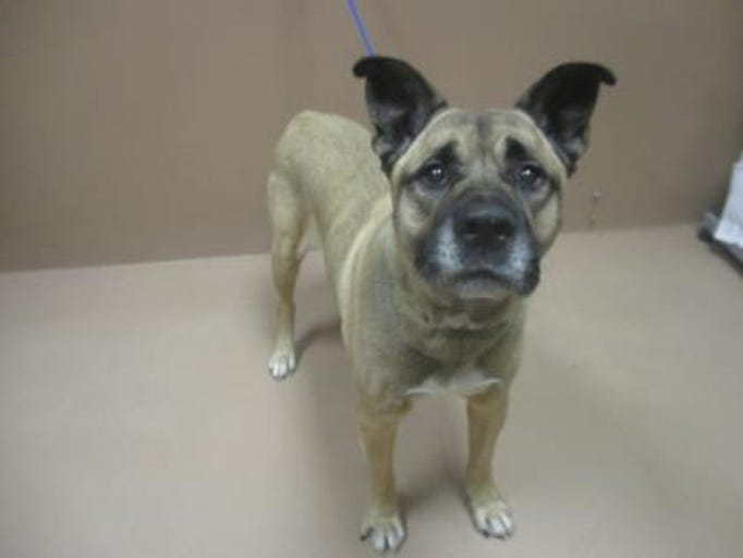 Chewy, 10, is available for adoption at the Nevada