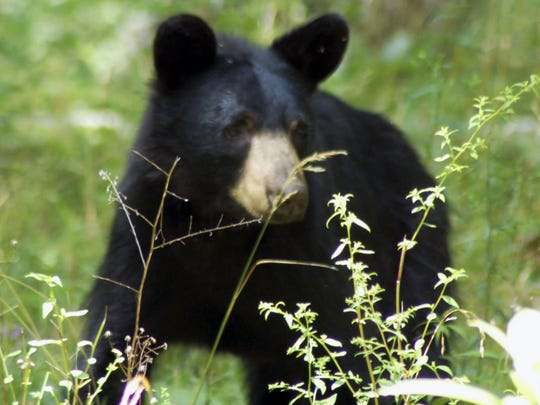 The Pa. Game Commission is now livestreaming the activity of an adult female black bear and a number of cubs.