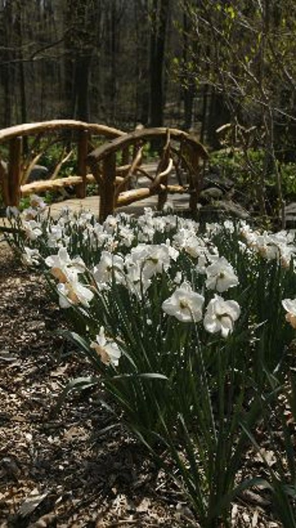 Daffodils in the White Garden