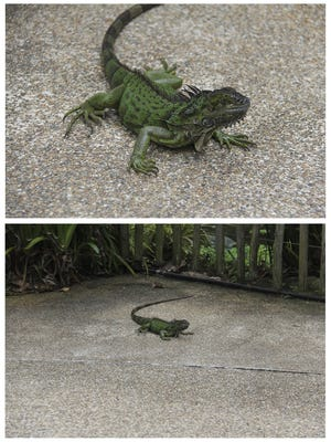 Photographed from an angle closer to ground level, the top photo of the lizard provides more impact compared to the other image. In short, be willing to bend your knees or even lie on the ground to give viewers a fresh perspective.