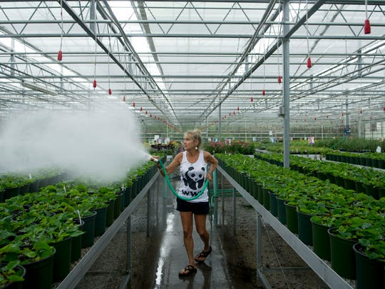 Lisa Stanley of Stanley's Greenhouse mists young poinsettia