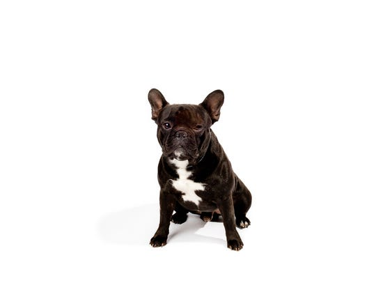 The little French Bulldog is top dog in New York City?