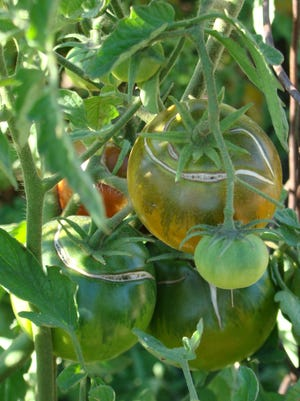 Wide swings in moisture can cause tomatoes to develop large cracks radiating out from the stem attachment.