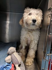 The 5-month-old labradoodle named Aubrey -- and renamed