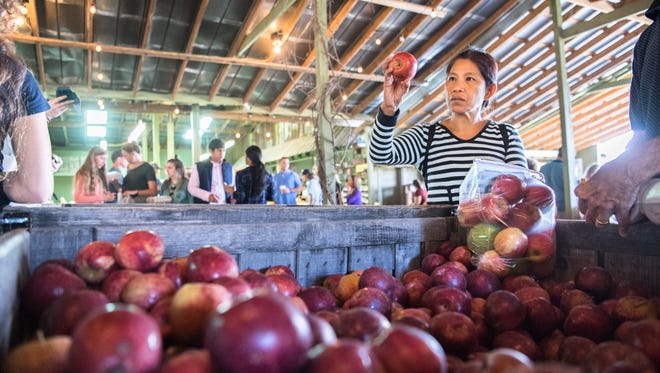 Moon Thompson, of Fort Mills SC, inspects a red delicious apple as she fills a bag at Sky Top Orchard in Flat Rock Saturday, October 14, 2017.