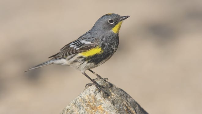 Yellow-rumped warblers are one of the first warblers to come back in the spring along with a variety of shore and water birds such as ducks and loons.