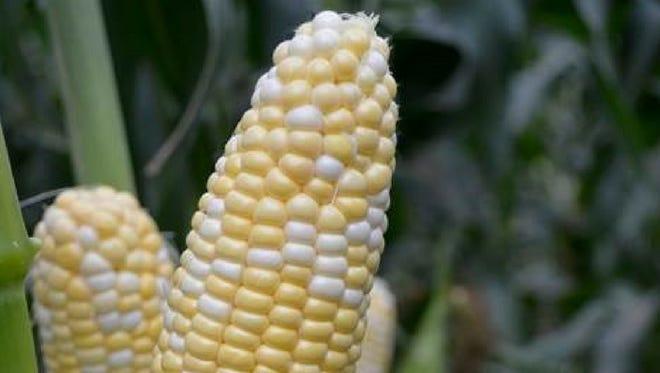 American Dream sweet corn