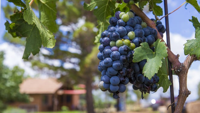 Grapes grow on a vine outside the Pillsbury winery tasting room in Willcox, Ariz. July 23, 2017.