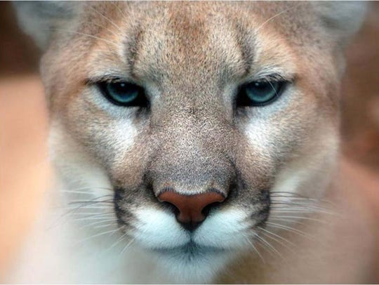 MDC says only 70 mountain lion sightings have been