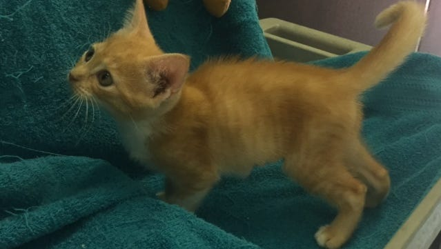 Karley, a kitten available for adoption through Caring Fields Felines