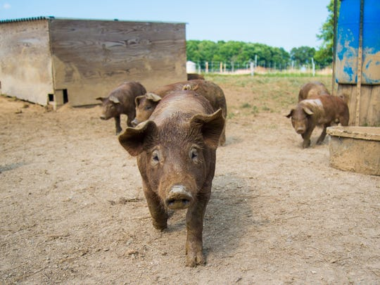 Pigs run around in their pen at Aberlin Springs where Leslie Ratliff will use the housing built by her own family to develop a new agricommunity in South Lebanon. The community will be built around an organic farm to engage and teach its residents about farming.