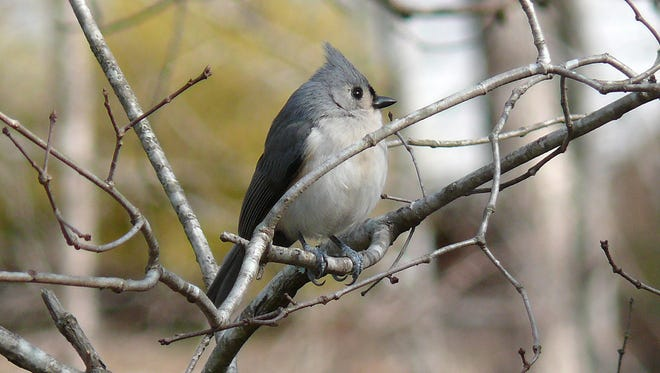 "The song of the familiar tufted titmouse is one of the easiest  to learn. This bird whistles a loud, high-pitched ""peter, peter, peter"" or ""pita, pita, pita."""