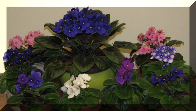 African violets bring beauty to the indoors during winter.
