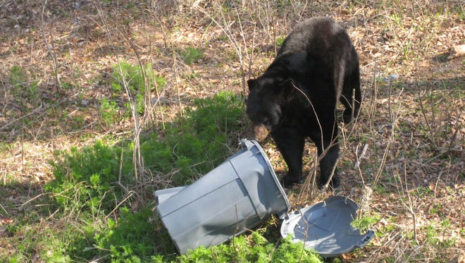 A bear investigates a trash can in this image provided by the Florida Fish and Wildlife Conservation.