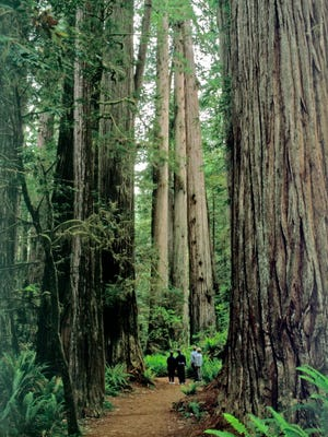 A grouping of state and national parks south of Oregon are home to redwoods. 9/26/14