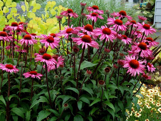 Merlot Enchinacea has hot pink flowers and red stems.