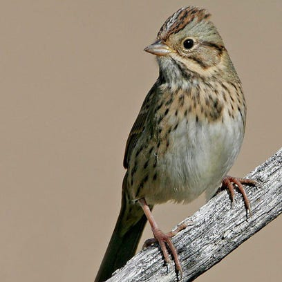 Lincoln's sparrows tend to hide in dense brush, where