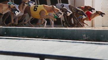 Greyhounds are released from the starting gate at the Naples-Fort Myers Greyhound Track.