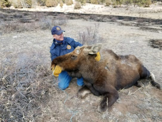 Colorado Parks and Wildlife staff, aided by others,