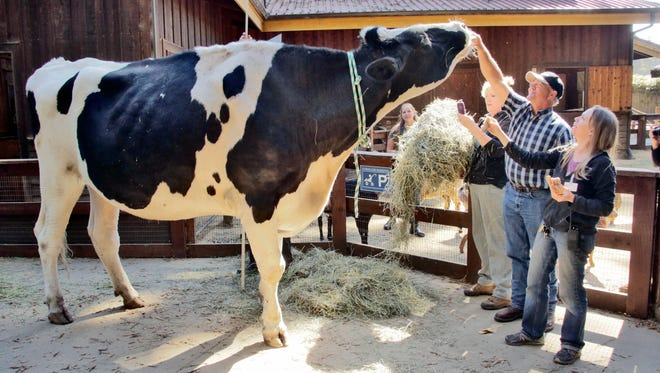 Co-owner Ken Farley of Ferndale, Calif., and animal care supervisor Amanda Auston tend to Danniel, a giant Holstein steer, at the Sequoia Park Zoo in Eureka, Calif.