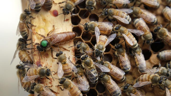 The queen bee (marked in green) and worker bees move around a hive at the VA in Manchester, N.H.