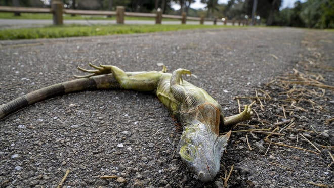 A cold stunned iguana waits to warm up in Dreher Park after temperatures dropped overnight in West Palm Beach, on Wednesday, Jan. 22, 2020.