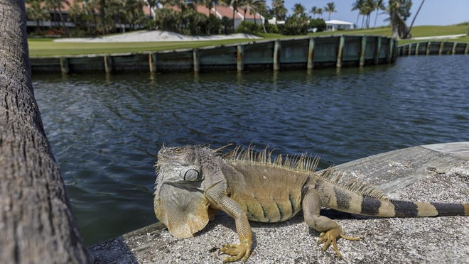 A proposal would ban ownership in Florida of more than a dozen exotic reptile species, including green iguanas like this one sunning next to the lake at the Palm Beach Par 3 Golf Course.