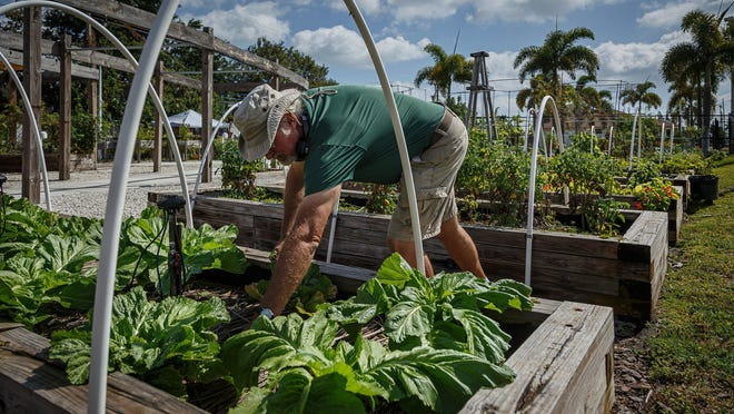 Dennis Reichel, of Riviera Beach, tends Wednesday to the edible varieties of plant foods at the Riviera Beach Community Garden. Reichel is the garden manager for the city's Community Development Corp.