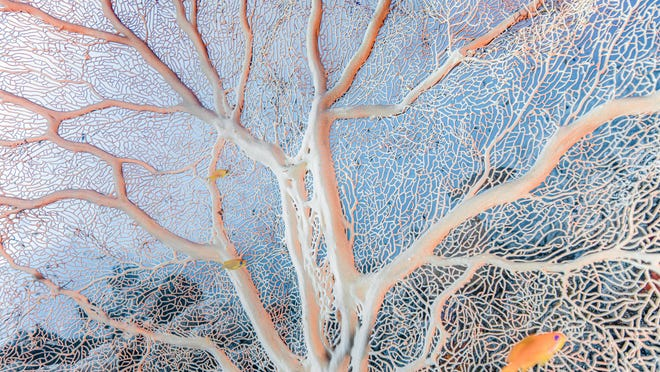 A peach Gorgonian sea fan becomes a home for fish and a beautiful abstract design for photographer Chris Leidy in Wakatobi in Indonesia.