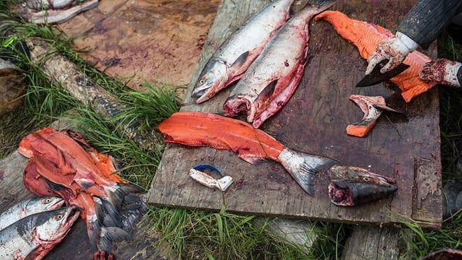 Yupik women prepare freshly caught salmon for curing on June 30, 2015 in Newtok, Alaska.