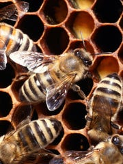 Bees in a honeycomb.