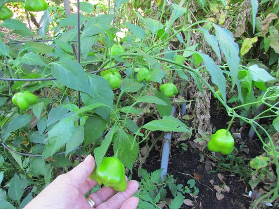 Mad Hatter peppers will turn red as they mature.