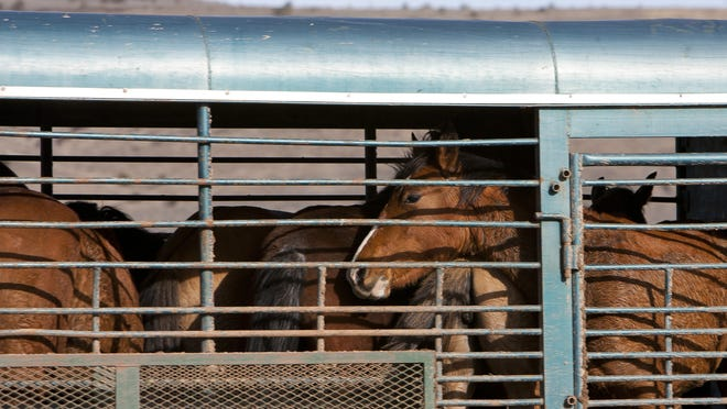 Wild horses are hauled in a trailer during a BLM North Hills Management Plan Area wild horse removal in 2010.