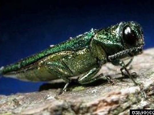 The Emerald Ash Borer. Most trees die within 2 to 4 years of infestation. The pest is responsible for the destruction of over 50 million ash trees in the U.S. since its discovery in Michigan in 2002, said DEC.