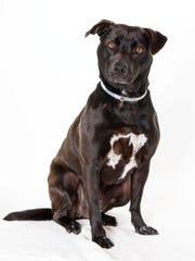 Brandi, 3-year-old female Labrador mix dog. No. 98080.