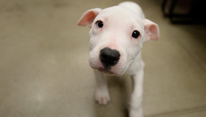Willa, the 8- to 10-week-old pitbull seen in a recent video showing an alleged dog beating, is now in the custody of the York County SPCA on Tuesday.